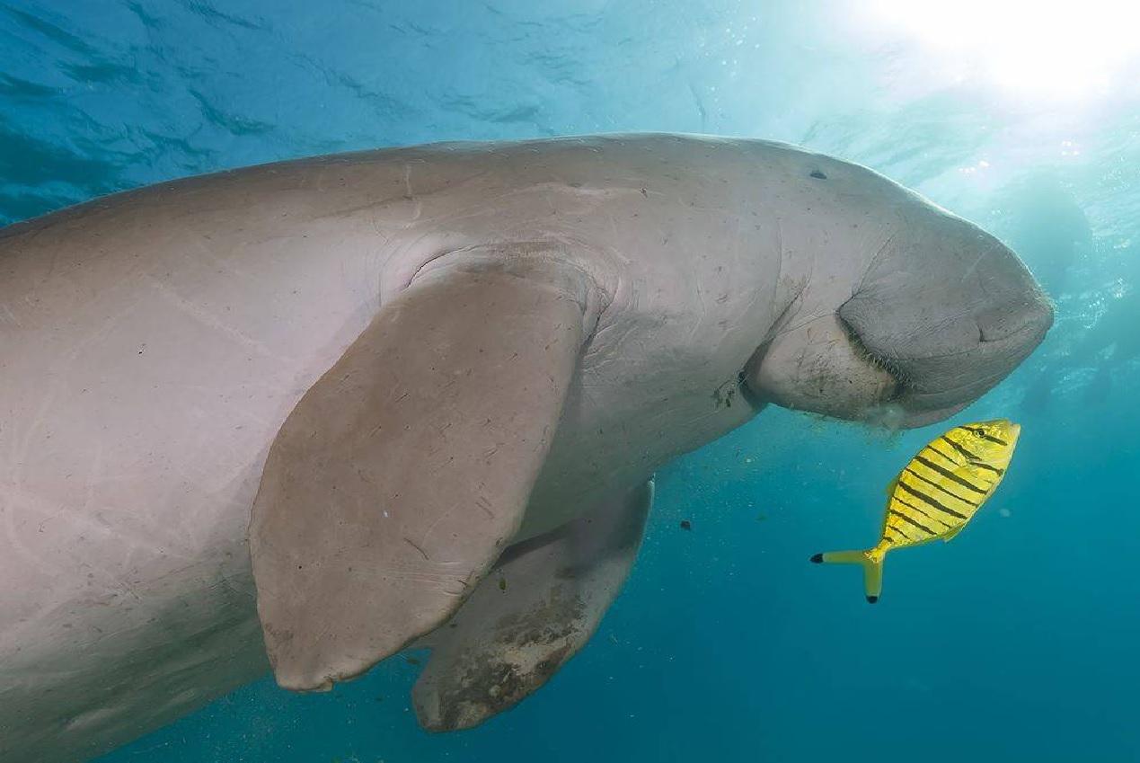 10++ Hewan dugong terupdate